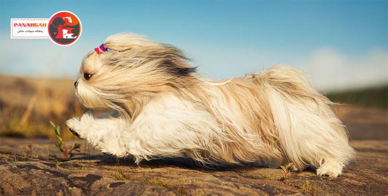 سگ نژاد شیتزو