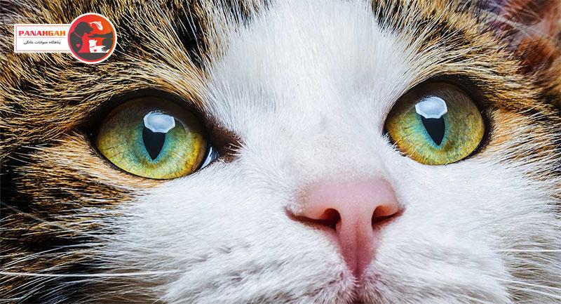 بیماری چشم گربه